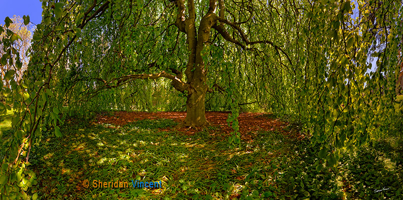 Beech-Linwood Gardens by Sheridan Vincent