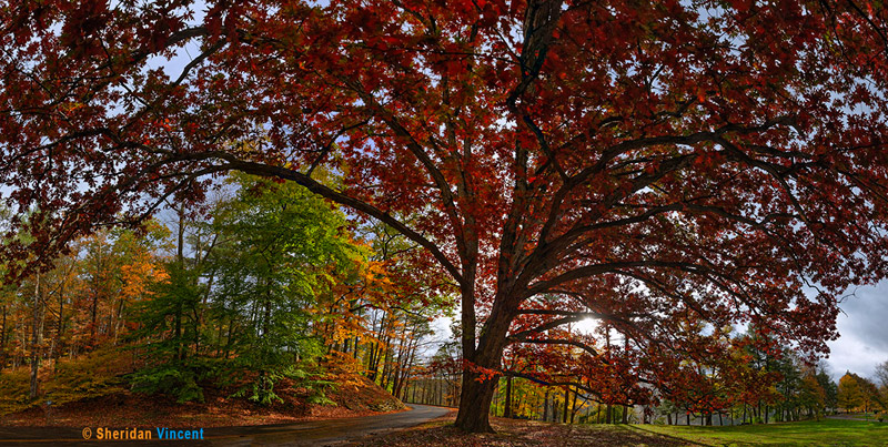 White Oak - Letchworth State Park by Sheridan Vincent